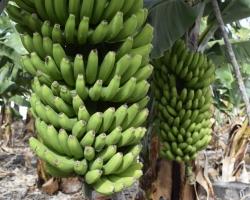 Det är nästan bara bananer som odlas, i varje fall vad vi ser.