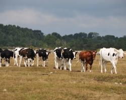Öland har massor med friska kor som