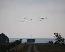 Gott om fåglar på Öland