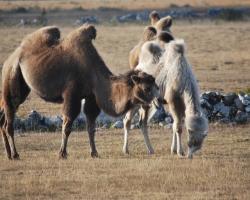 Och vadå, finns det kameler på Öland?