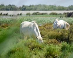 De vackra hästarna i Camargue-deltat!