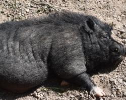 Hette de hängbuksvin? I varje fall hängde det många svinbukar på Tage Andersens Gunillaberg!